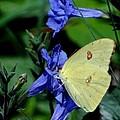 Sulphur Butterfly On Wildflower by Betty Berard