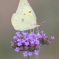 Sulphur On Verbena by Robert E Alter Reflections of Infinity