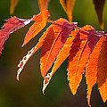 Sumac In The Sun by Bill Pevlor