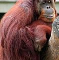 Sumatran Orangutan by Laurel Talabere
