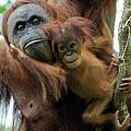 Sumatran Orangutan Pongo Abelii Mother by Suzi Eszterhas