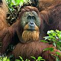 Sumatran Orangutan Pongo Abelii by Suzi Eszterhas