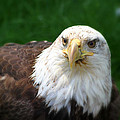 Summer Bald Eagle  by Karol Livote
