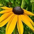 Summer Black Eyed Susan Flower by P S