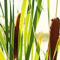 Summer Cattails by JL Creative  Captures