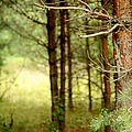 Summer Forest. Pine Trees by Jenny Rainbow