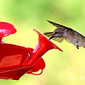 Summer Fun Hummingbird by Carol Groenen