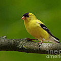 Summer Joy - Male Gold Finch by Inspired Nature Photography Fine Art Photography