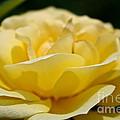 Summer Loves A Rose by Susan Herber