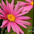 Summer Pink by Rick  Monyahan