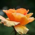 Summer Softness by Susan Herber
