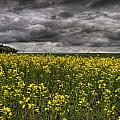 Summer Storm Clouds Over A Canola Field by Dan Jurak