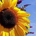 Summer Sunflower by Tikvah's Hope