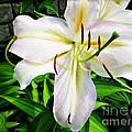 Summer White Madonna Lily by Joan  Minchak