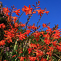 Montbretia, Summer Wildflowers by Aidan Moran
