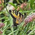 Summer's Flying Tiger  by Byron Varvarigos