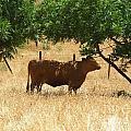 Sun Dappled Cow by Kristen Fox