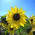 Sun Flower by Steve McKinzie