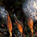 Sun Kisses Milkweeds by LeeAnn McLaneGoetz McLaneGoetzStudioLLCcom