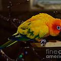 Sun Parrot by Jack Moskovita