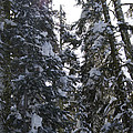 Sun Rays On Snowy Trees by Jim And Emily Bush
