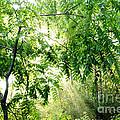 Sun Rays Through Black Walnut Leaves by Thomas R Fletcher