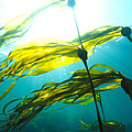Sun Shines Through Bull Kelp by Nick Norman