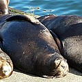 Sunbathing Sea Lions by Chalet Roome-Rigdon