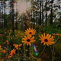 Sunburst On Sunflowers by Barbara Bowen