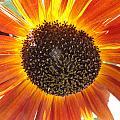 Sunburst by Shannon Grissom