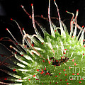 Sundew Eating A Fly by Ted Kinsman