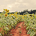 Sunfllower Farm by Rebecca Rood