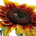 Sunflower 1 by Erica Hanel