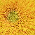 Sunflower 2881 by Michael Peychich