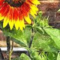 Sunflower 3 Sf3wc by Jim Brage