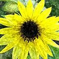 Sunflower 5 Sf5wc by Jim Brage