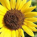 Sunflower by Alan Hutchins