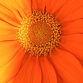 Sunflower by Amy Salter