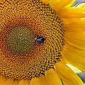 Sunflower And A Bumblebee by Aleksandr Volkov