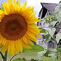 Sunflower And Barn by Sam Perry