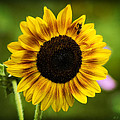 Sunflower And Bee by J Larry Walker
