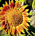 Sunflower And Bud by Steve McKinzie