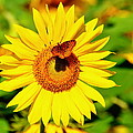 Sunflower And Butterfly by Debbi Granruth