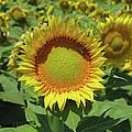 Sunflower And Honeybee July Two K O Nine by Carl Deaville