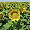 Sunflower And Honeybees July Two K O Nine  II by Carl Deaville