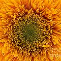 Sunflower by Ann Garrett