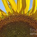Sunflower Arch by Darleen Stry