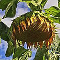 Sunflower At Fall by David Arment