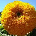Sunflower At Kendall Jackson Wine Estates by Kelly Manning