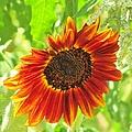 Sunflower Beauty by Michelle Cassella